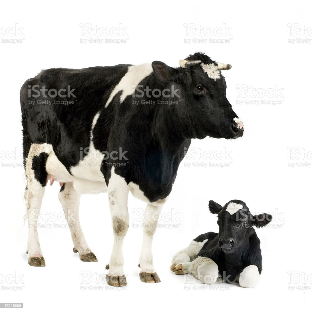 holstein Cow and her calf stock photo