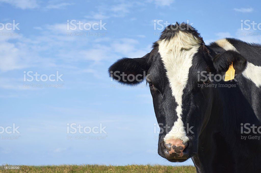 Holstein cow looking at camera. royalty-free stock photo
