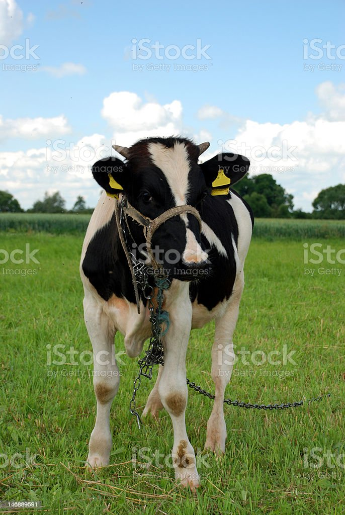Holstein Cow royalty-free stock photo
