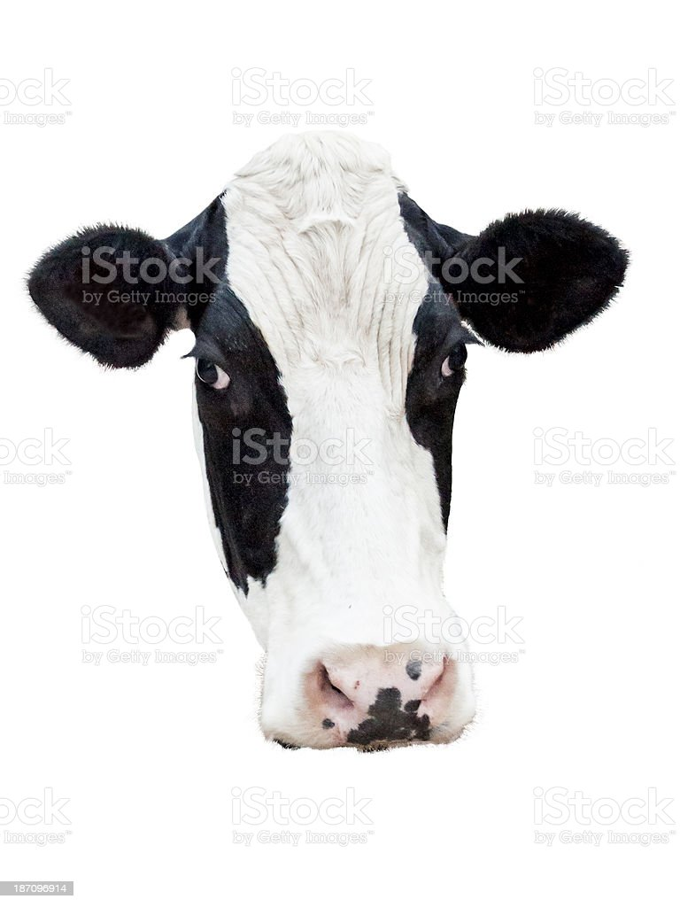 Holstein cow royalty-free stock photo