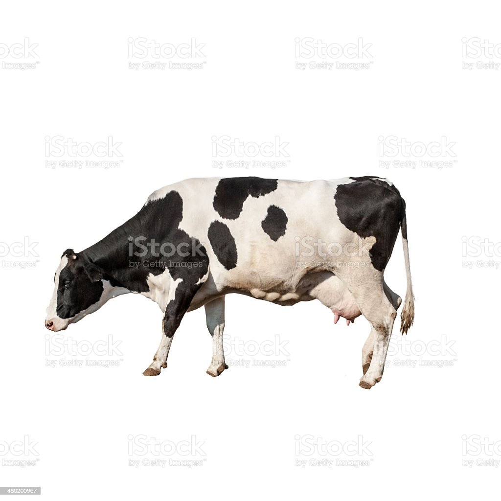 Holstein Cow stock photo