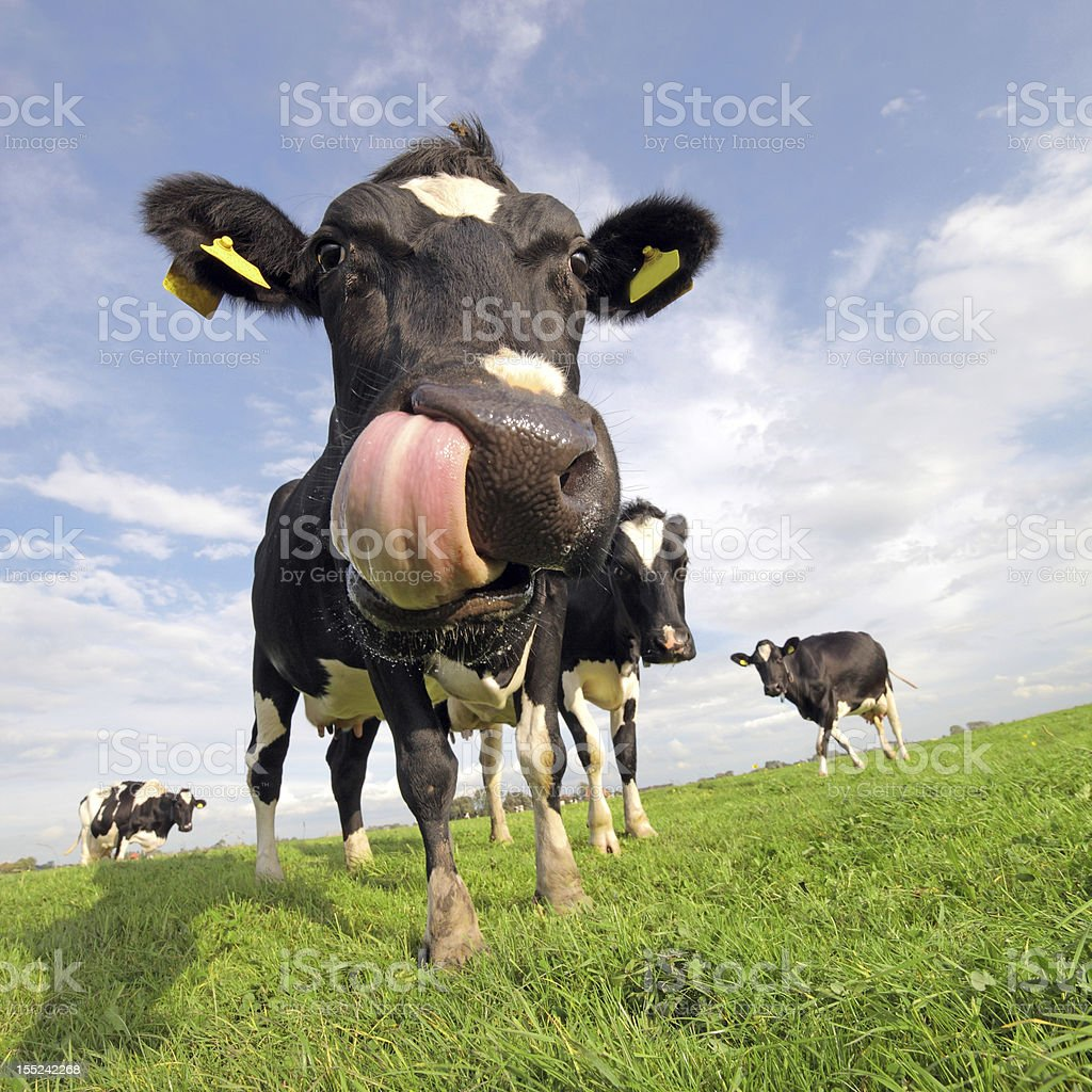 Holstein cow with tongue sticking out stock photo