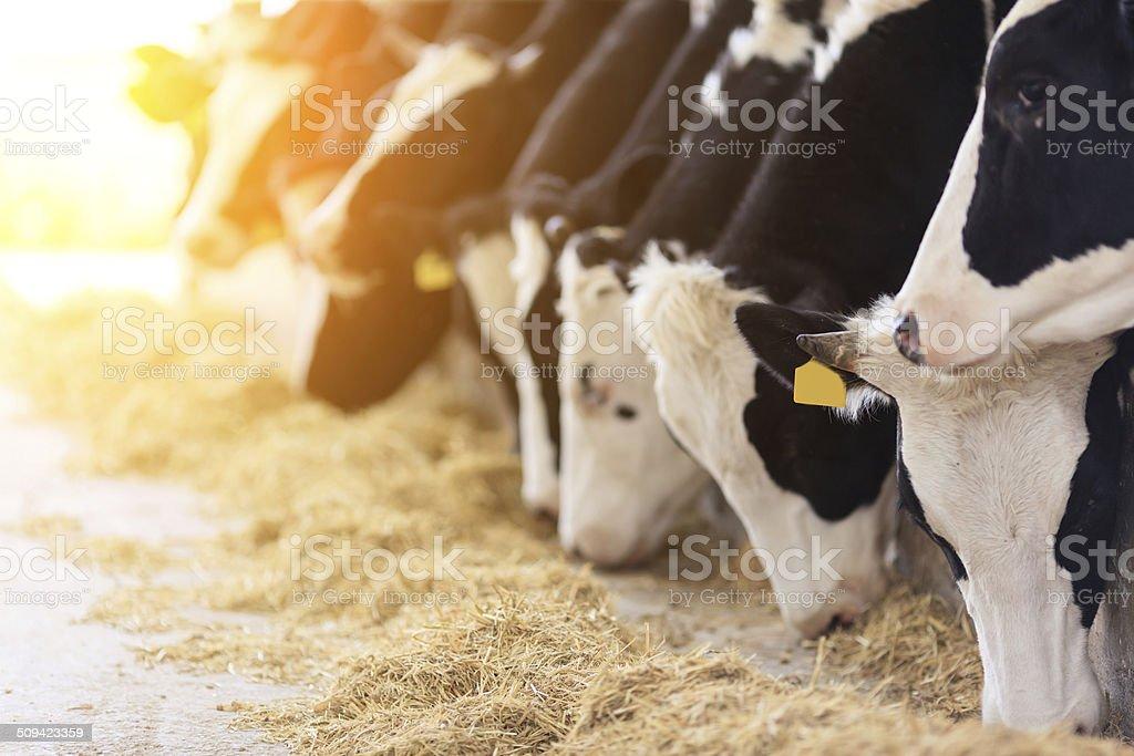 Holstein cows feeding stock photo