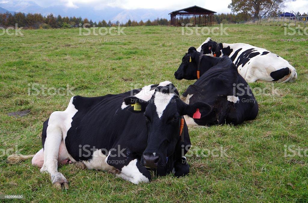 Vacas Holstein foto de stock libre de derechos