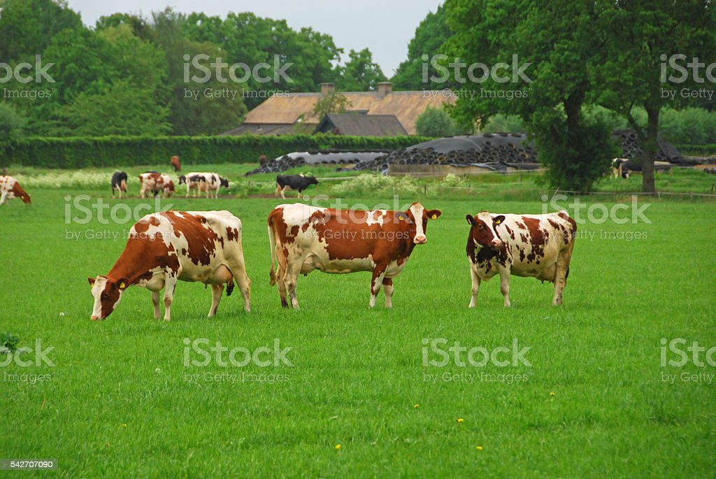 Holstein cows standing in front of a farmhouse. stock photo