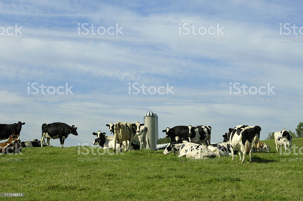 Holstein dairy cows royalty-free stock photo
