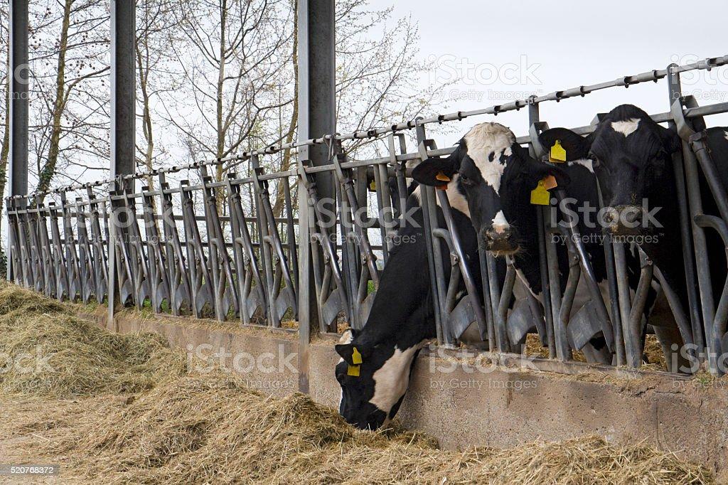Holstein Dairy Cows stock photo