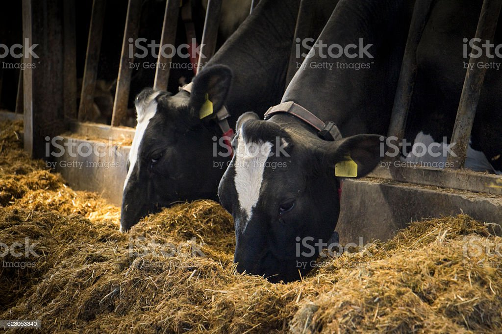 Holstein Dairy Cows stock photo