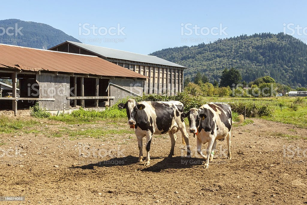 Holstein Duo II royalty-free stock photo