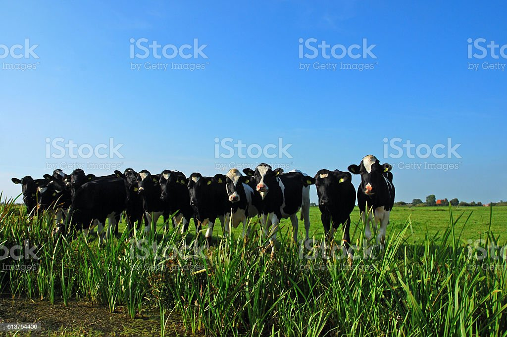 Holstein Heifers standing side by side in a Frisian landscape. stock photo