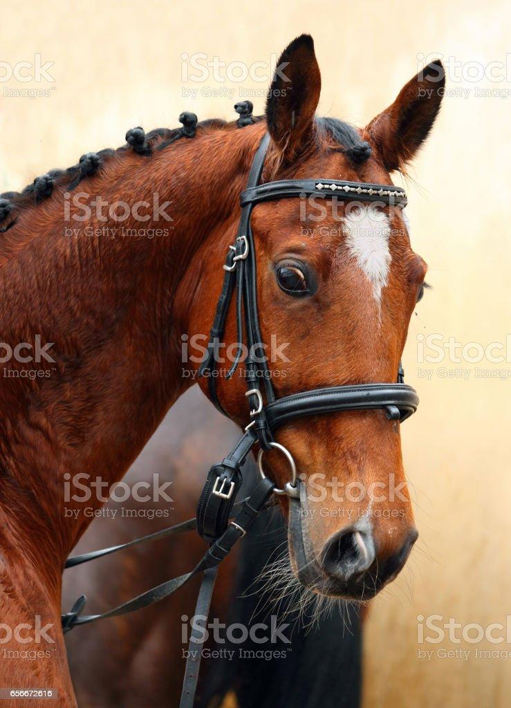 Holstein saddle horse portrait stock photo