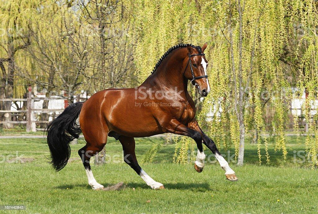 Holsteiner stallion galloping stock photo