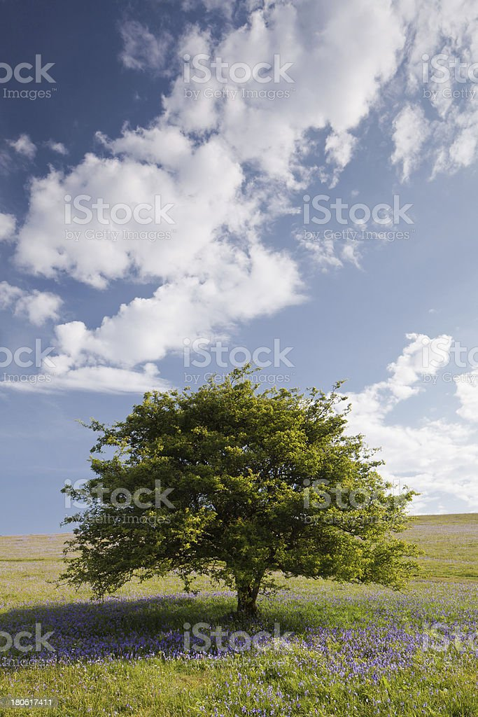 Holwell Lawn Bluebells royalty-free stock photo