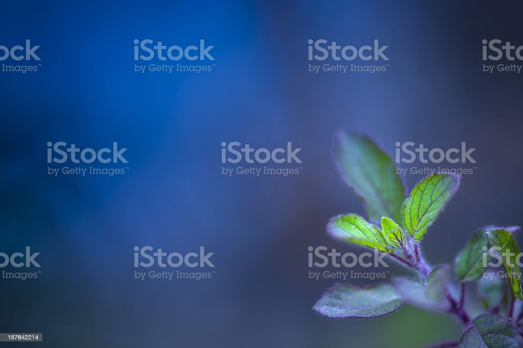 Holy basil or called tulasi in India against blue background stock photo