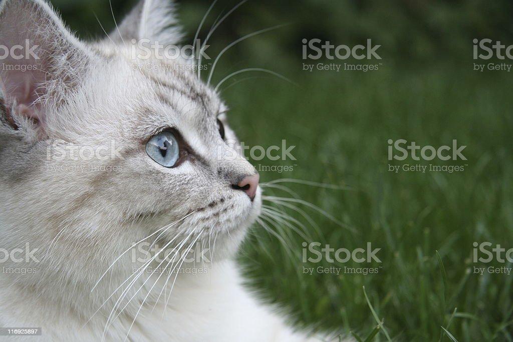 holy birmese cat head stock photo