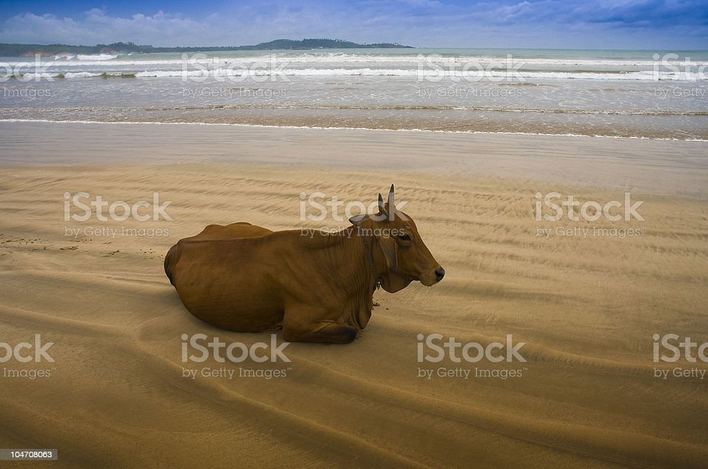 Holy cow in the beach royalty-free stock photo