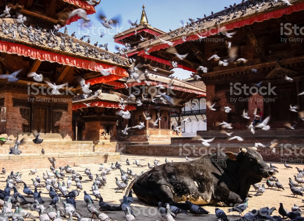 Holy cow with doves and crows, Durbar Square, Kathmandu stock photo
