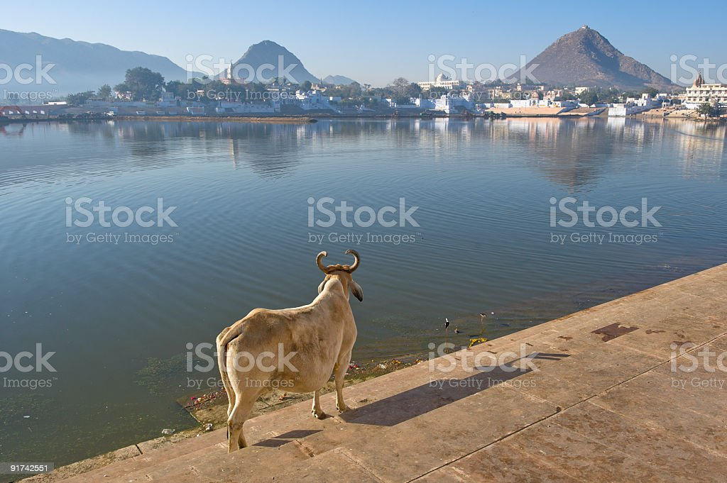 Holy cows standing on the bank of lake Pushkar, India stock photo
