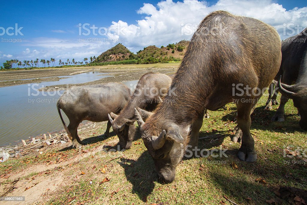 Holy Indian Cows royalty-free stock photo