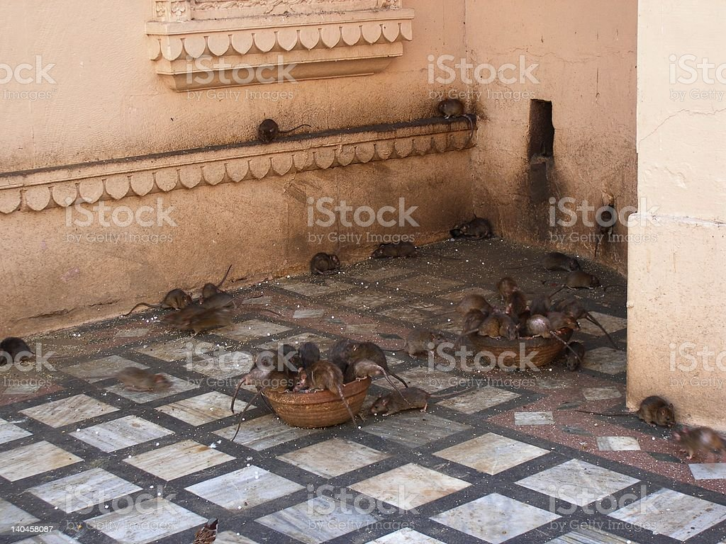Holy Karni Mata temple for rats royalty-free stock photo
