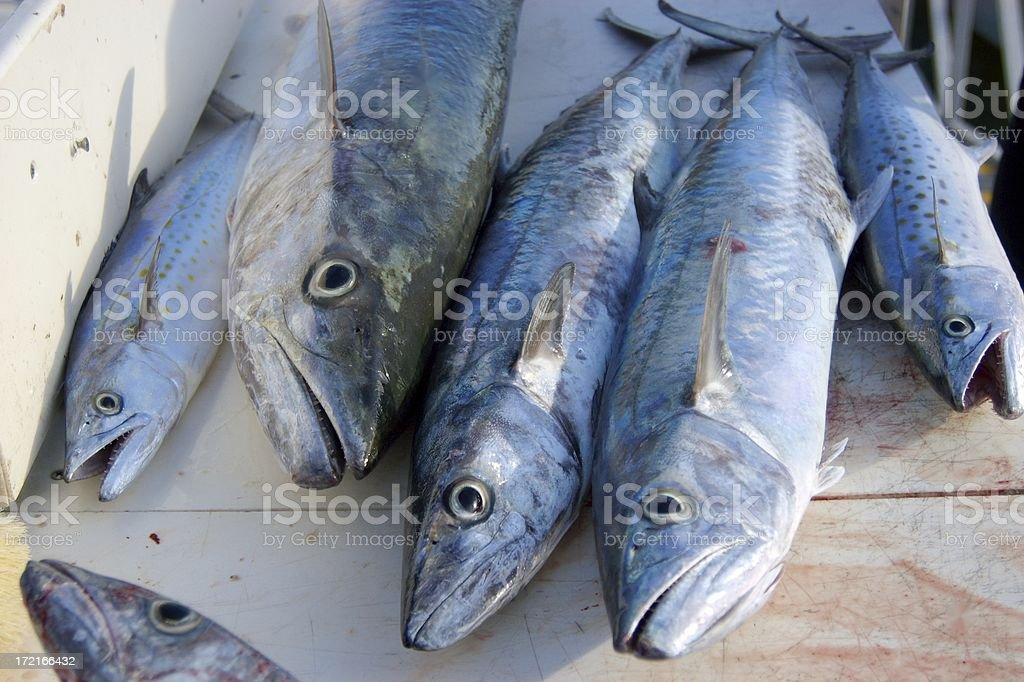 Holy Mackerel royalty-free stock photo