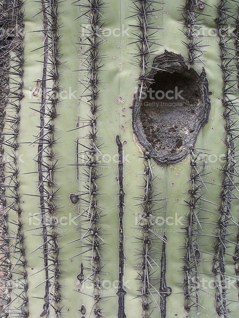 Holy Saguaro stock photo