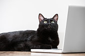 Home black cat lying and looking at laptop screen