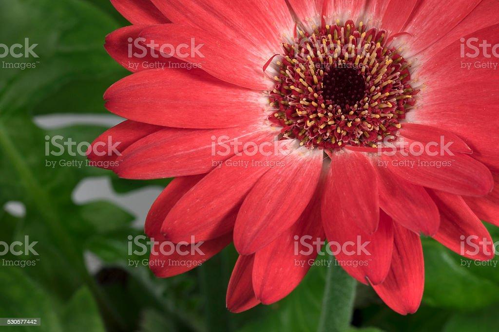 home flower gerbera stock photo