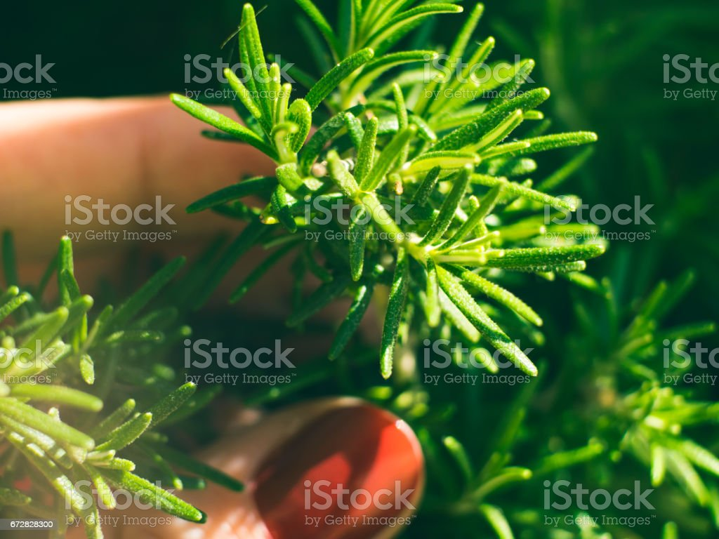 Home garden growing rosemary herb outdoors. Spring summer nature...