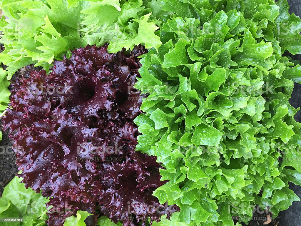 Home grown curly lettuce in purple and fresh salad leaves stock photo