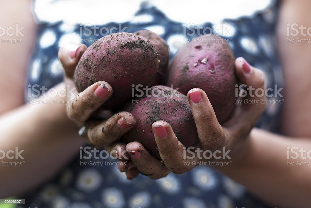 Home Grown Potatoes stock photo