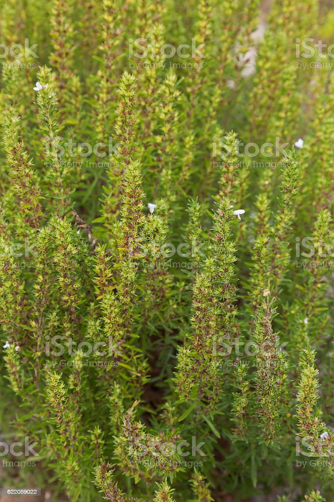 Home grown Winter savory herb with some white flowers stock photo