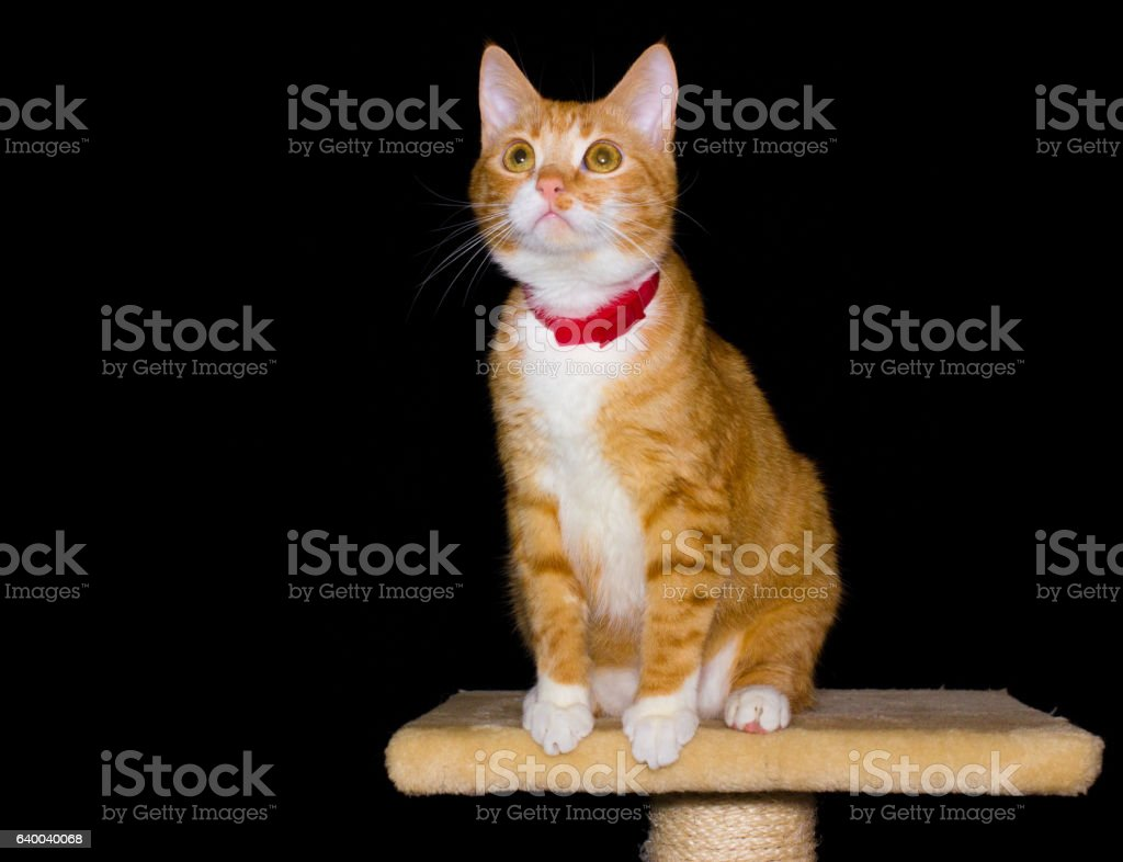 Home red cat on black background stock photo