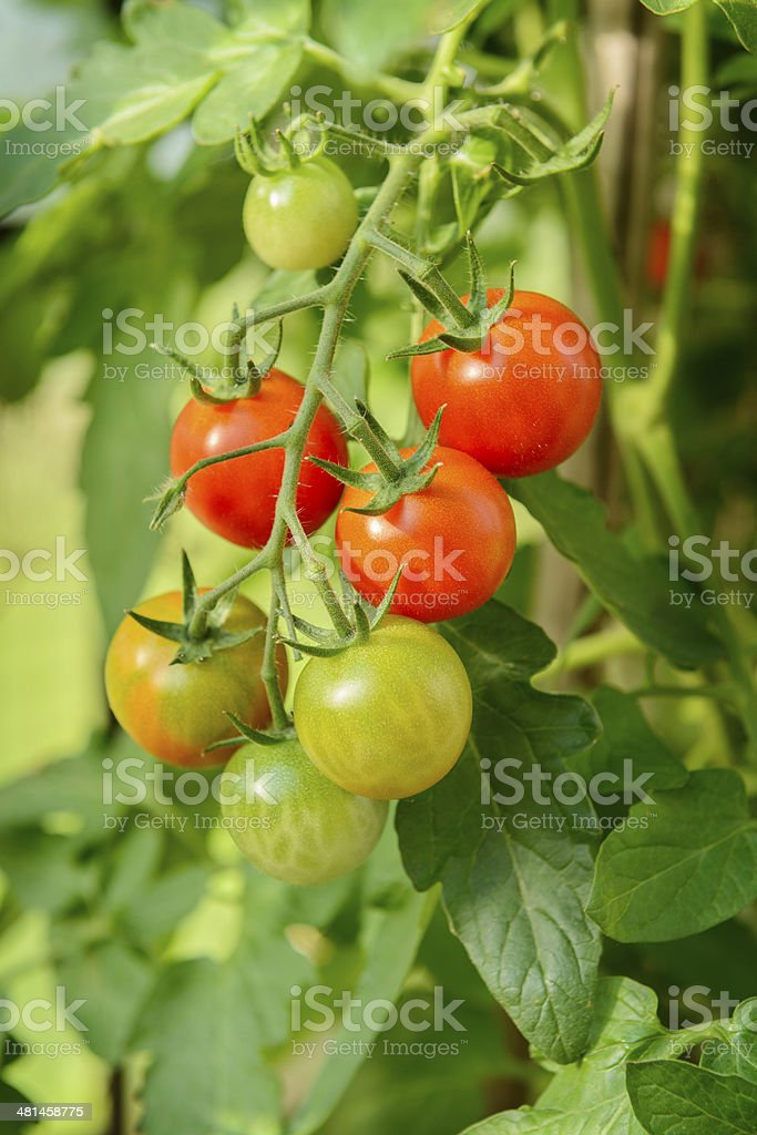 Homegrown cherry tomatoes stock photo