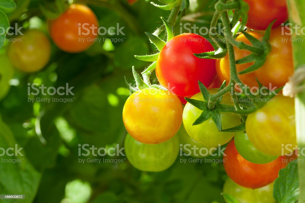 Homegrown cherry tomatoes stock photo