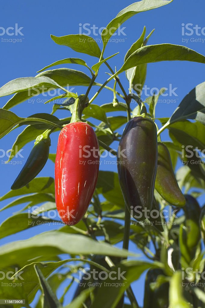 Homegrown Jalapeno Peppers stock photo
