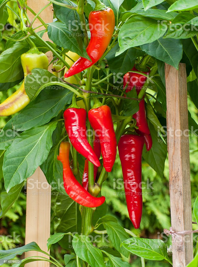 Homegrown organic peppers stock photo