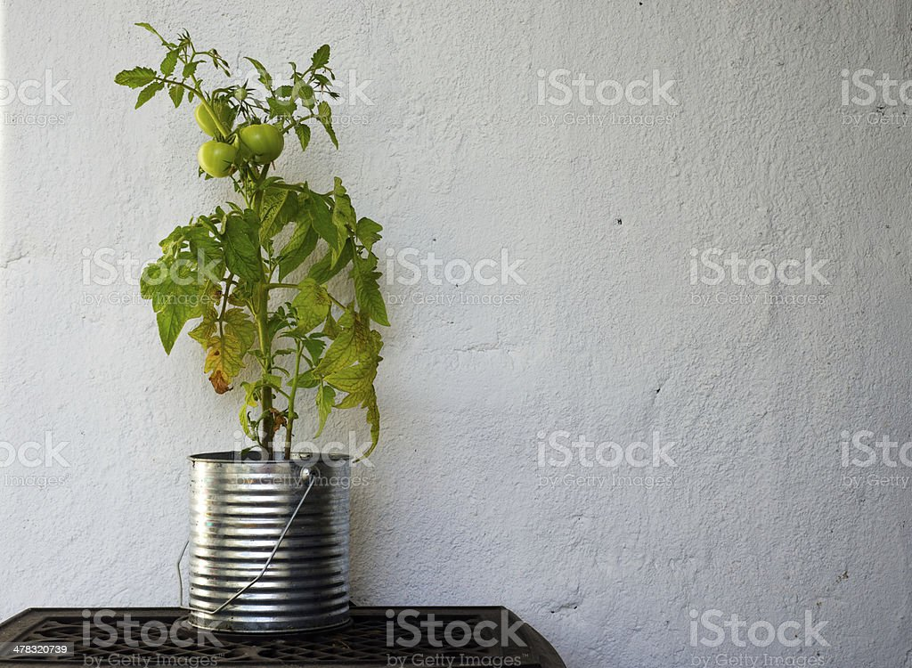 Homegrown sustainable green and red tomatoes royalty-free stock photo
