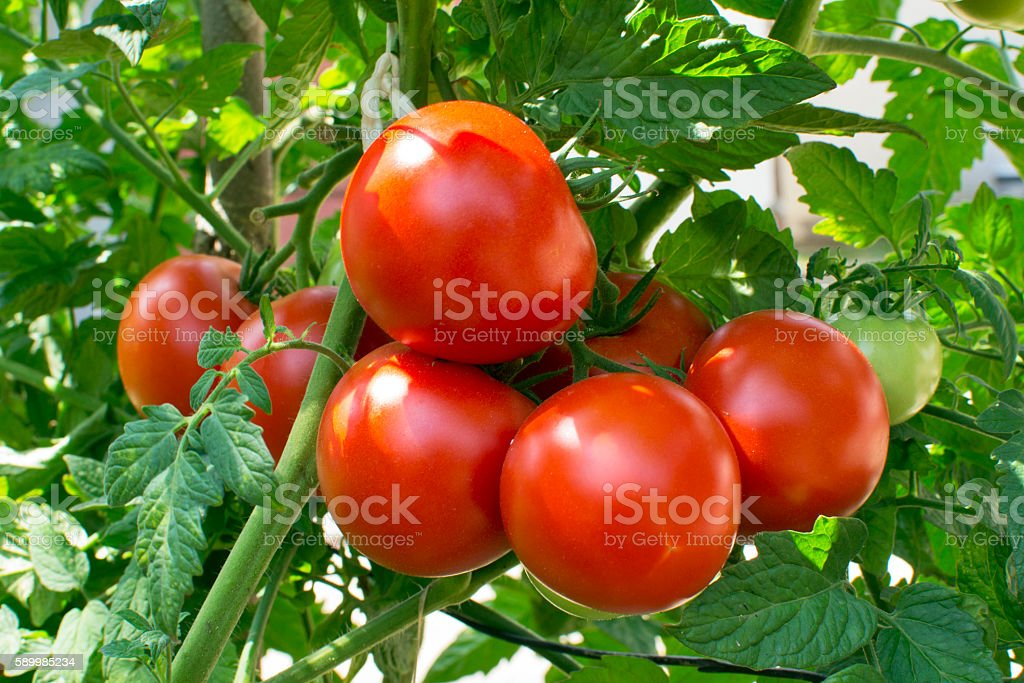 Homegrown tomatoes stock photo