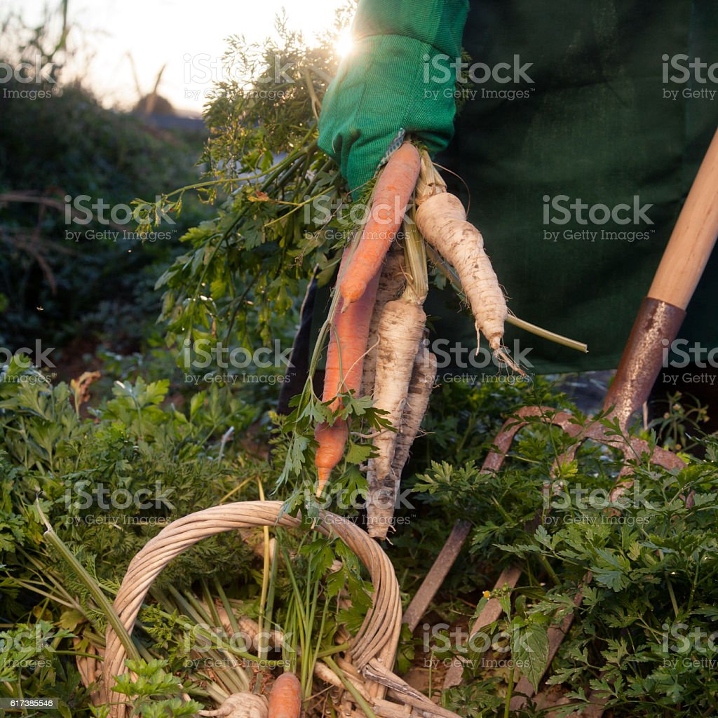 Homegrown Vegetables stock photo