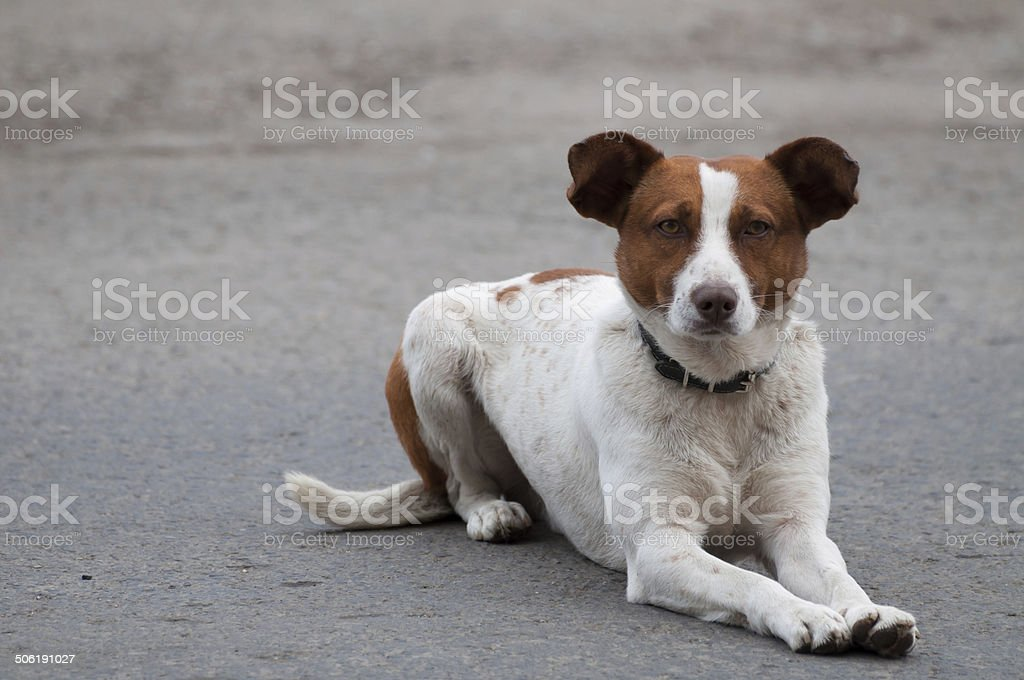 homeless attentive dog looking ahead royalty-free stock photo