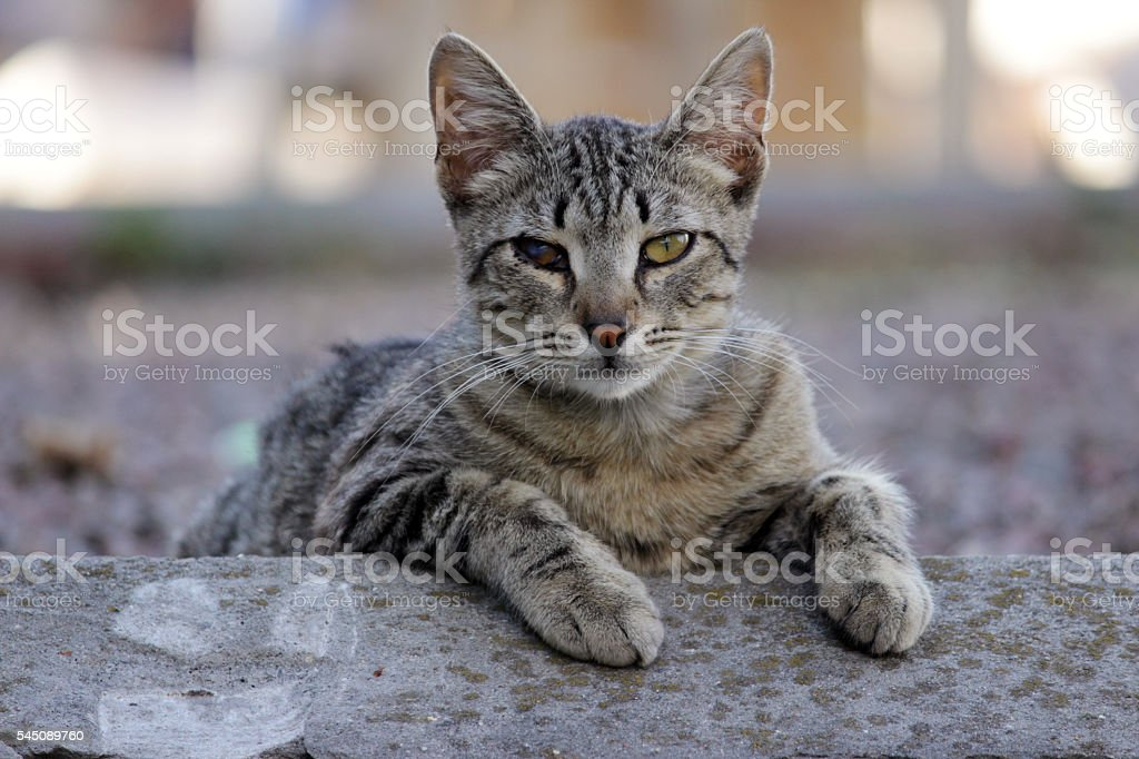 homeless cat infected with feline herpesvirus or chlamydiosis stock photo