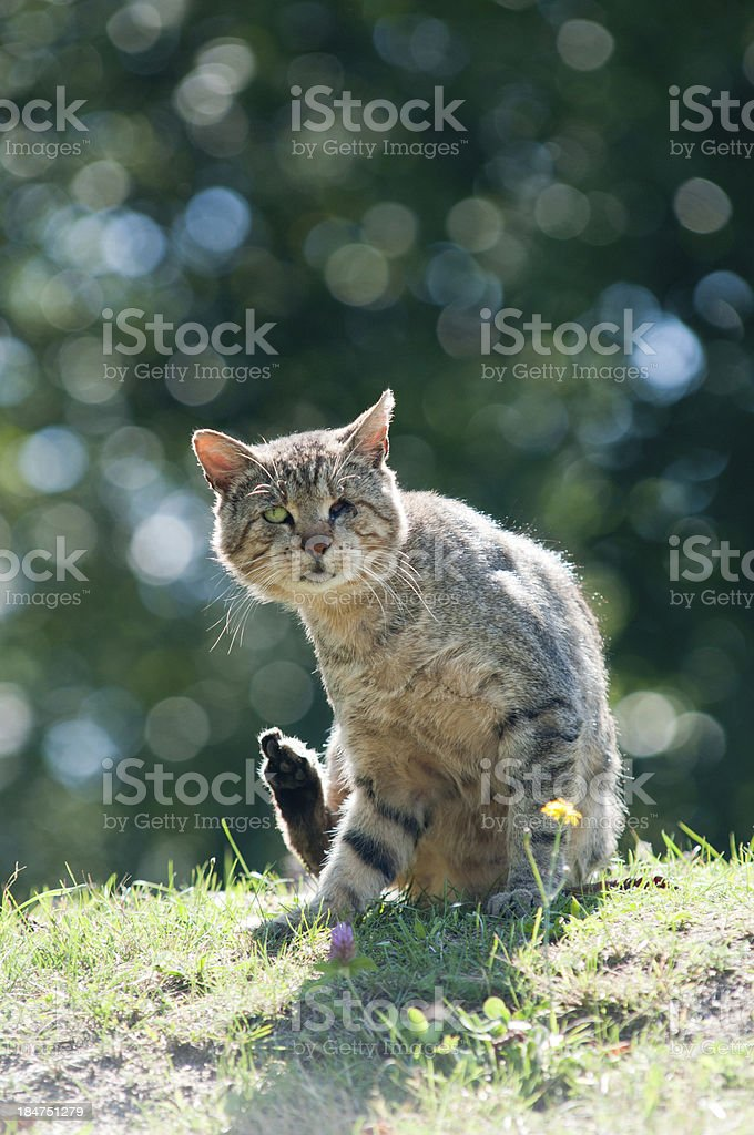 Homeless cat without a eye royalty-free stock photo