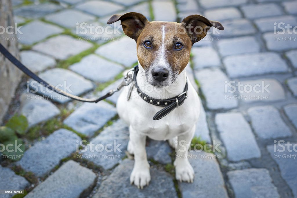 homeless dog lonely with leash royalty-free stock photo