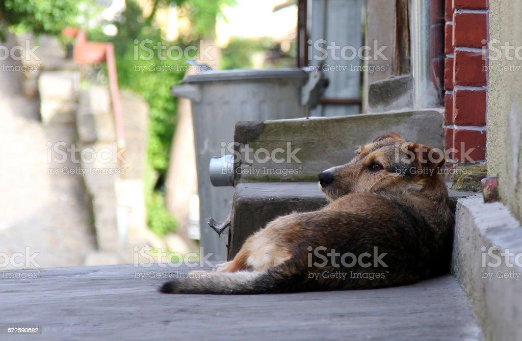 Homeless dog lying on the street stock photo