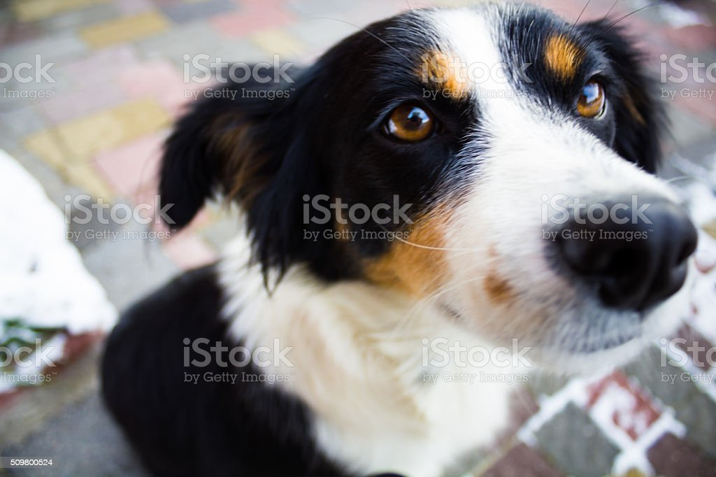Homeless dog tricolor stock photo