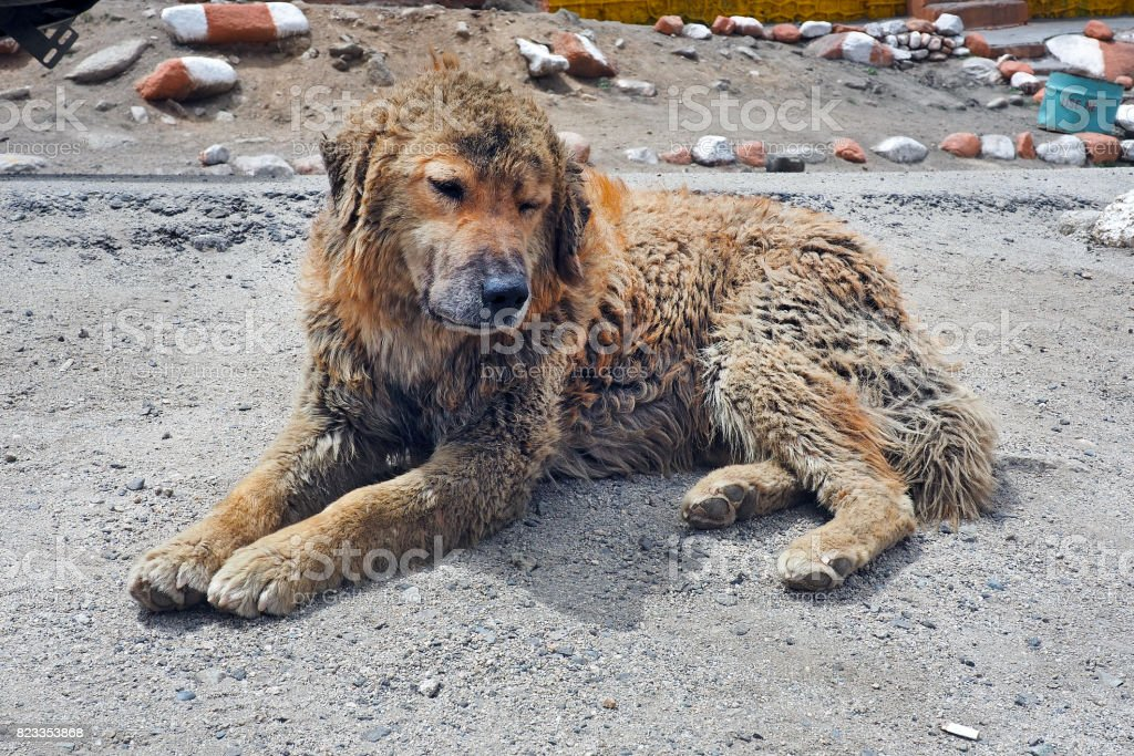 homeless poor cute dog lay on the ground stock photo