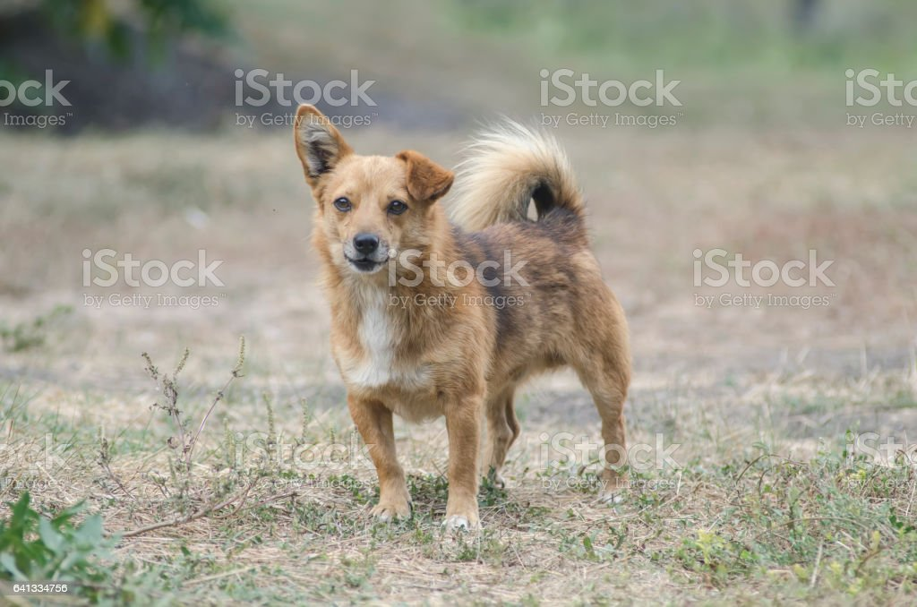 homeless red dog outdoors stock photo