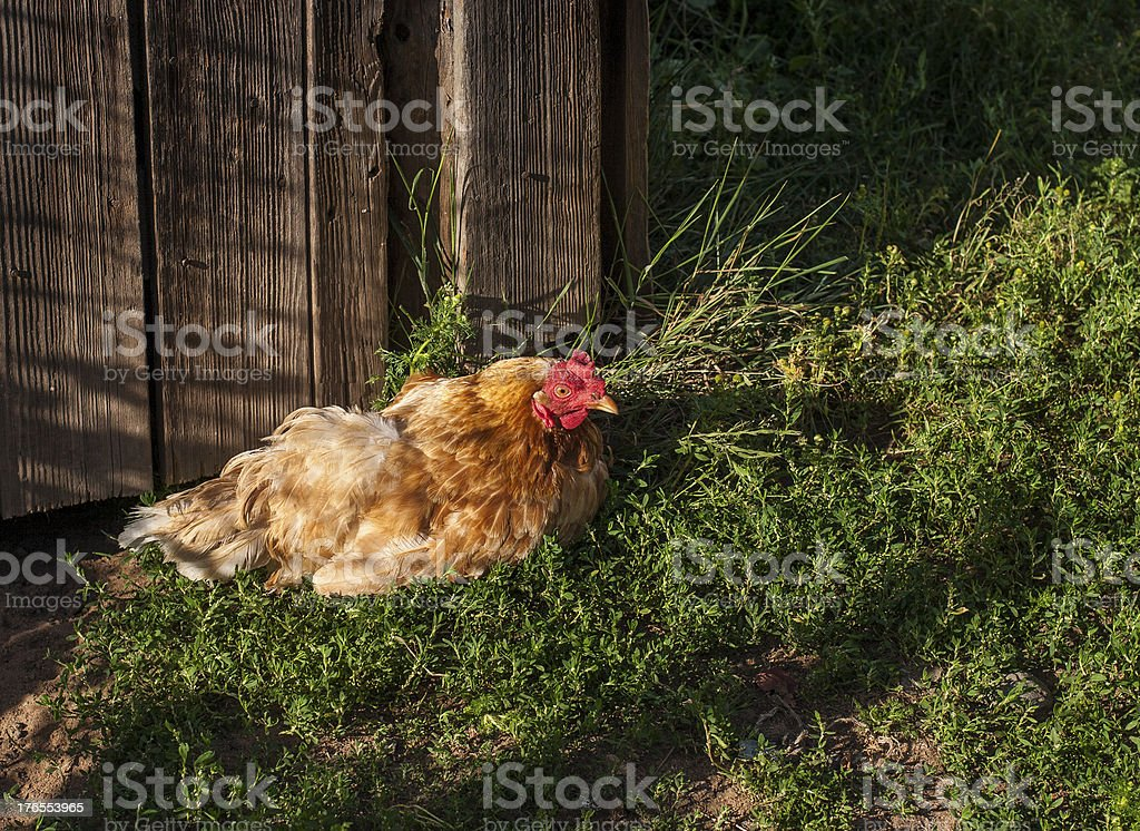 homemade orange chicken in the yard stock photo