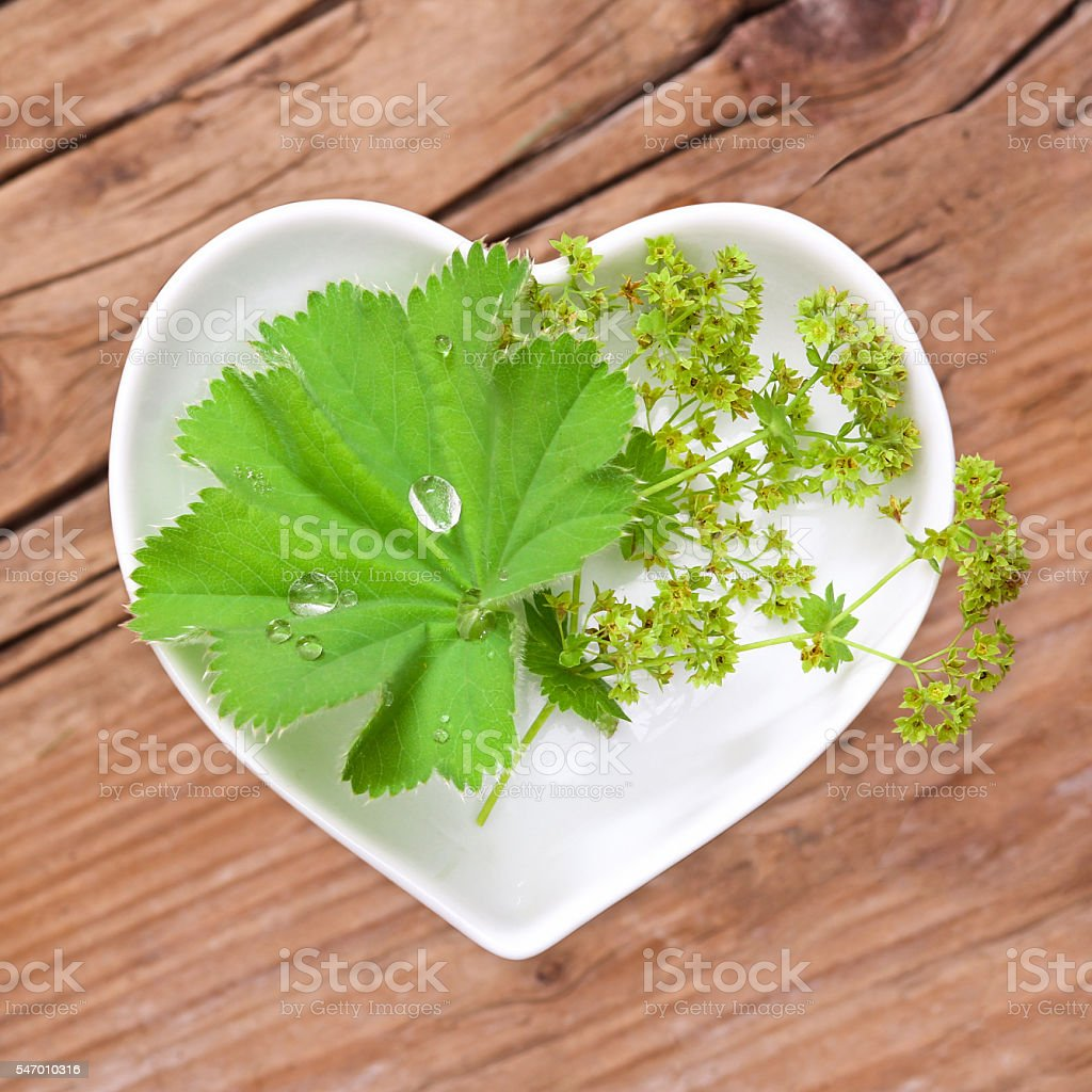 Homeopathy and cooking with lady's mantle stock photo